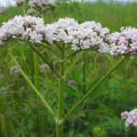 Da valeriana e passiflora speranze contro l'eiaculazione precoce