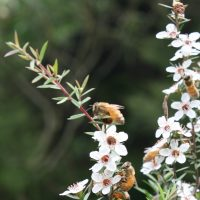 Der Teebaum und Manuka: zwei Elixiere in Australien