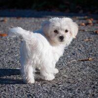 Il Maltese, un cane da salotto con antiche origini di fiero predatore