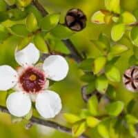 Thea Tree, Eucaliptolo e Miele di Manuka: l'oro, l'argento e la mirra dell'Australia